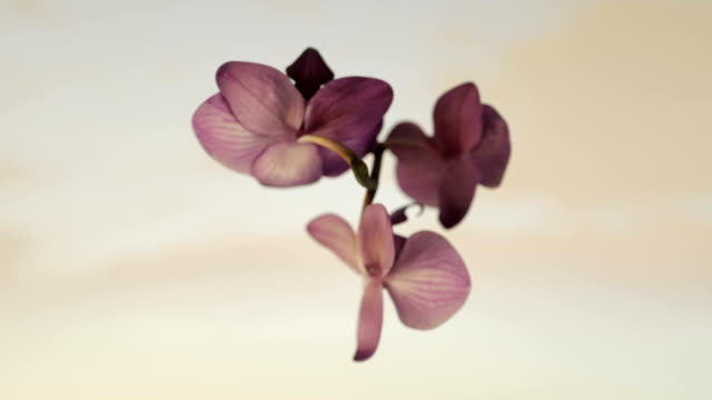 Orchid rotating, seamless loop, against white