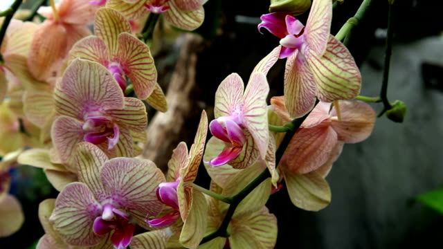 HD CLOSE UP: Orchid's blossom video