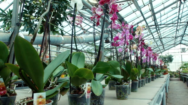 Orchids in the greenhouse Wide shot of orchids in the greenhouse potted plant stock videos & royalty-free footage