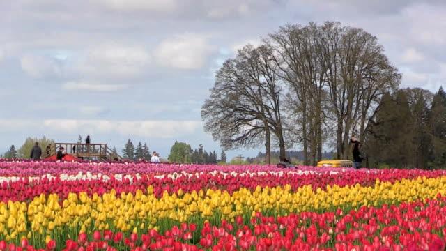 Oregon Wooden Shoe Tulip Festival 2014 video