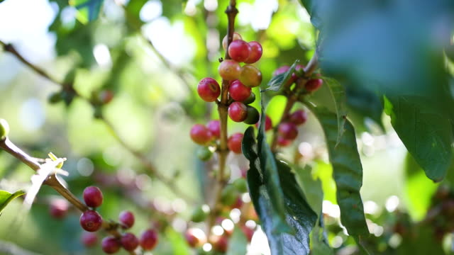 Organic Arabica coffee in Thailand