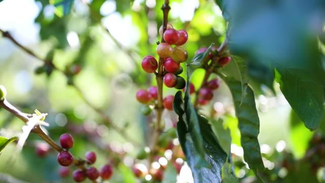 bio arabica kaffee in thailand - rohe kaffeebohne stock-videos und b-roll-filmmaterial