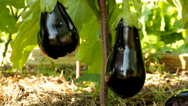 organic, bio eggplant, aubergine plant grow in the garden, beautiful plantation in sunny day - melanzane video stock e b–roll