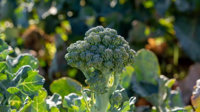 organic broccoli - broccolo video stock e b–roll
