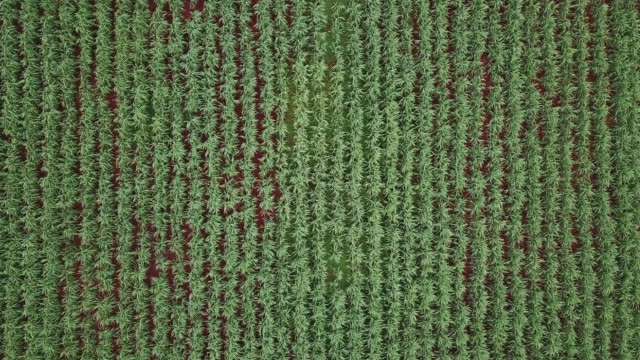 Organic Cane Farm Field. 4K Aerial View from Above. Drone Monitoring Plants - Future Technology Agricultural Food Harvest Footage Concept. Organic Cane Farm Field. 4K Aerial View from Above. Drone Monitoring Plants - Future Technology Agricultural Food Harvest Footage Concept. sugar cane stock videos & royalty-free footage