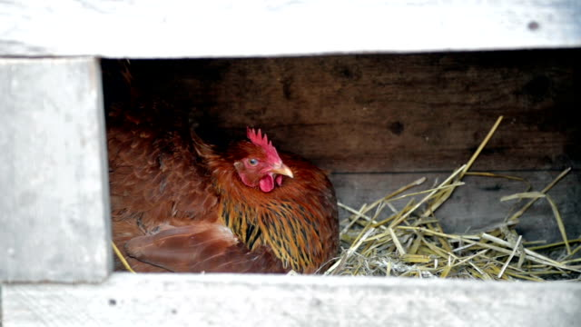 kurczak organicznych - leżeć filmów i materiałów b-roll