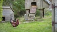 istock Organic chickens roaming the yard 1269189884