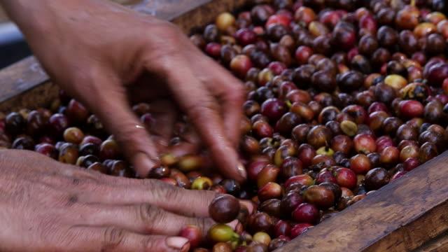 bio-kaffeebohnentrocknung in thailand - rohe kaffeebohne stock-videos und b-roll-filmmaterial