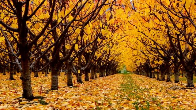 Organic Farm Cherry Orchard Okanagan Valley video