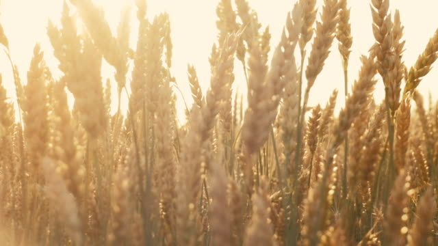 organic farm harvest barley malt production sun Organic farming and harvesting. Barley malt growing for craft beer production. Sunlit grain stems in summer wheat stock videos & royalty-free footage