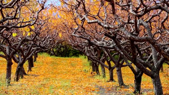 Organic Farm Peach Orchard Okanagan Valley video
