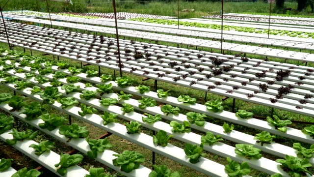 vídeos de stock e filmes b-roll de organic farm with agriculture vegetable hydroponic. organic vegetable is business agriculture growing - aquacultura
