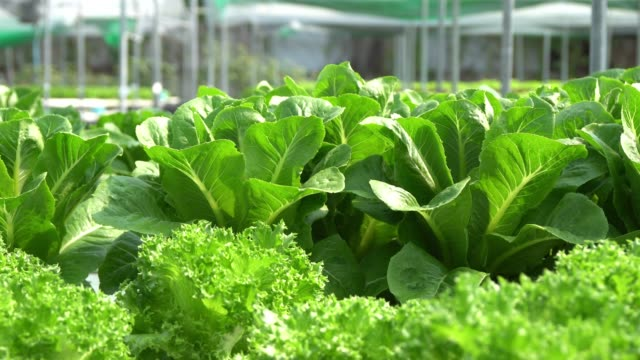 Organic farm with agriculture vegetable hydroponic.