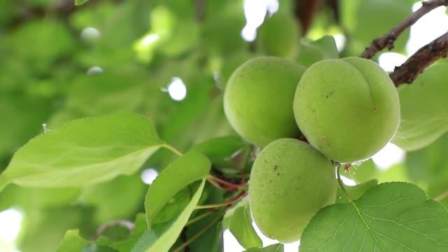 organic fresh green apricots fruit ripen on the tree. - albicocco video stock e b–roll