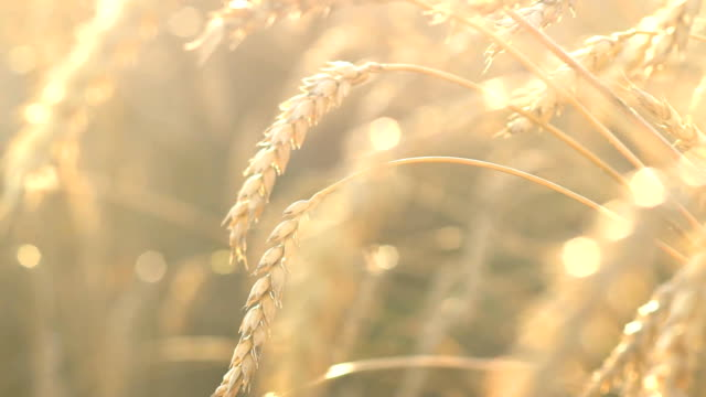 organic golden ripe ears of wheat in field, soft focus, closeup, agriculture background video