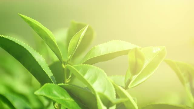 bio-grüner tee im plantagenfeld. - grüner tee stock-videos und b-roll-filmmaterial