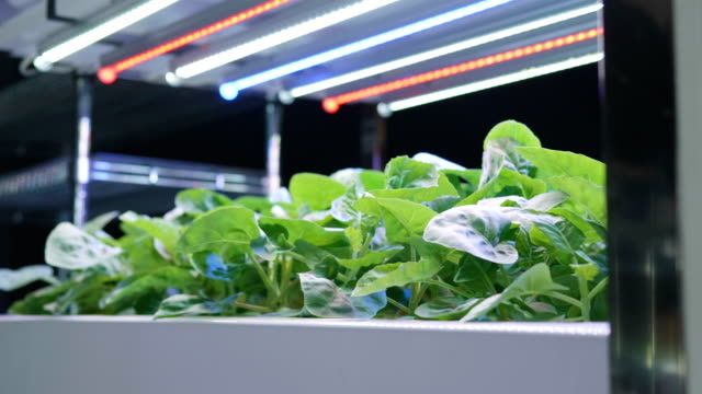 Organic hydroponic vegetable cultivation farm , Green hydroponic organic salad vegetable indoor. Organic hydroponic vegetable cultivation farm , Green hydroponic organic salad vegetable indoor. hydroponics stock videos & royalty-free footage