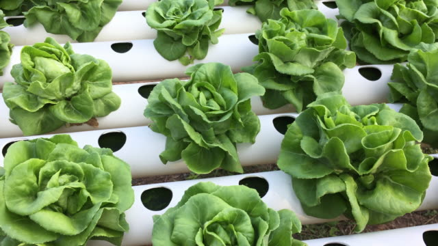 Organic hydroponic vegetable farm concept video