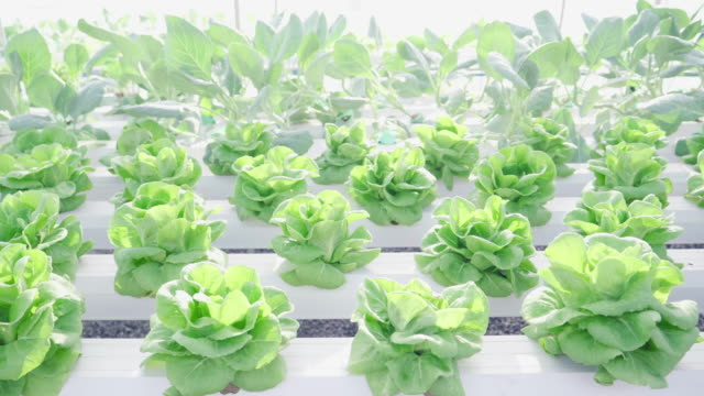 Organic Hydroponic Vegetable video