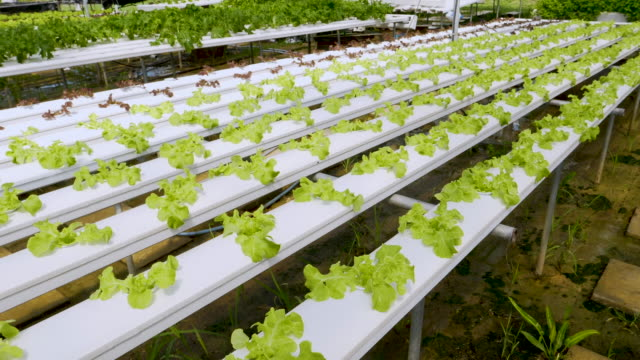 Organic Hydroponic Vegetables video