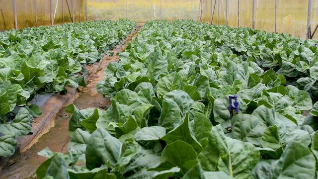 cavolo biologico. coltivare verdure fresche. - coreopsis lanceolata video stock e b–roll