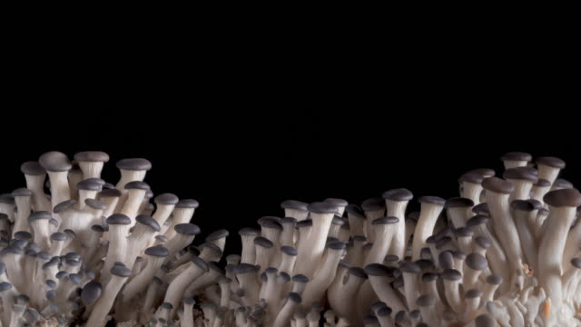 Organic Mushroom Growing Time Lapse on Black Background
