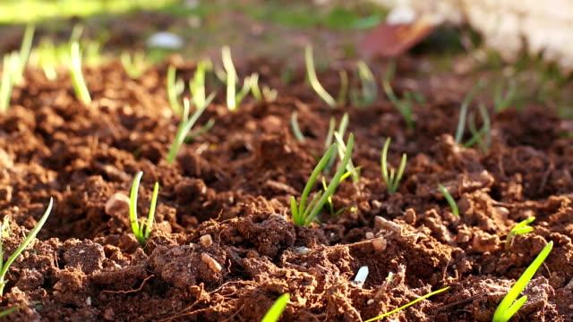 Organic Oninon Plants Timelapse - video