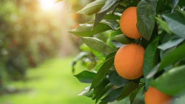ekologiska apelsiner, på egenutvecklade apelsinträd - spain solar bildbanksvideor och videomaterial från bakom kulisserna