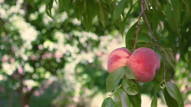 bio pfirsiche auf pfirsichbaum zweige - peach stock-videos und b-roll-filmmaterial