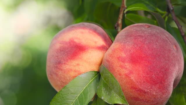organic peaches on peach tree branches - абрикос стоковые видео и кадры b-roll