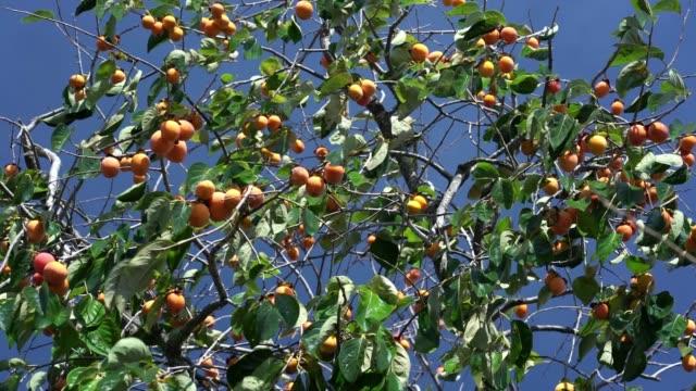 vídeos de stock e filmes b-roll de organic persimmon fruit on tree branch on harvest. - diospiro