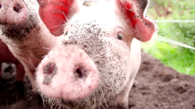 Organic Pigs Snuffling and Rooting In Dirt video