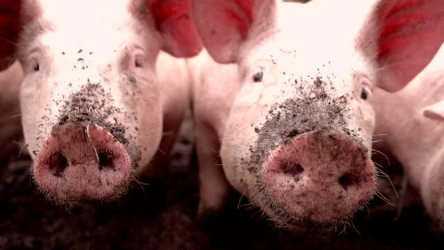 bio-schweinen snuffling und herz in schmutz - schwein stock-videos und b-roll-filmmaterial