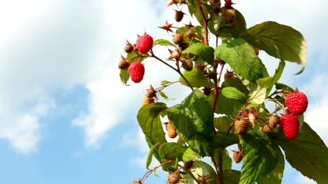 Organic raspberries video
