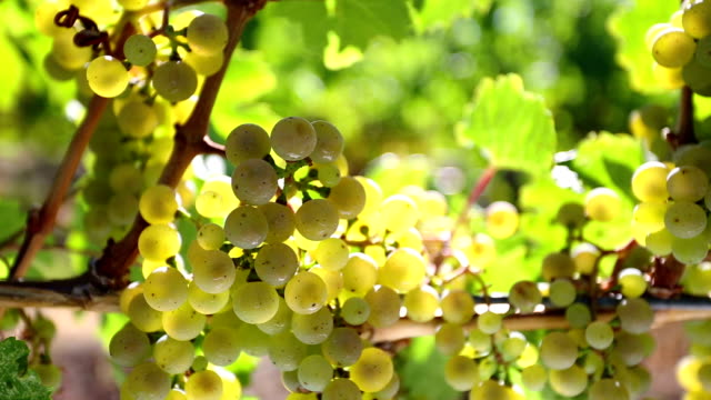 uva riesling organico okanagan valley - uva riesling bianco video stock e b–roll