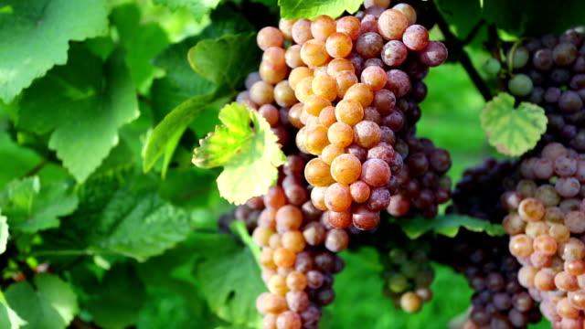 vídeos de stock, filmes e b-roll de organic pinot gris uvas maduras - região thompson okanagan colúmbia britânica