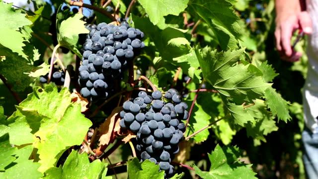 vídeos de stock e filmes b-roll de uva shiraz colheita orgânico vale de okanagan, na - uva shiraz
