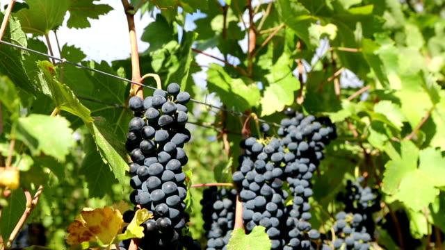 Organic Shiraz Grape Harvesting Okanagan Valley video