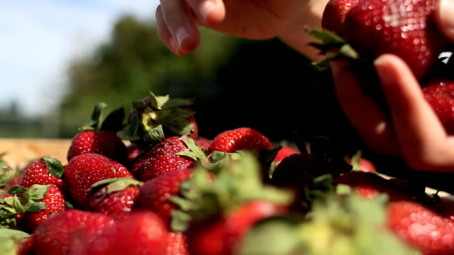 organic strawberries harvest video