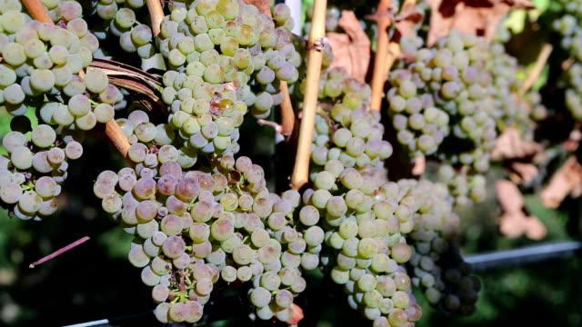 vídeos de stock, filmes e b-roll de organic uva viognier colheita - região thompson okanagan colúmbia britânica