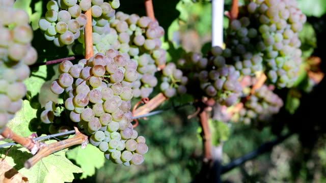 Organic Viognier Grape Harvesting video