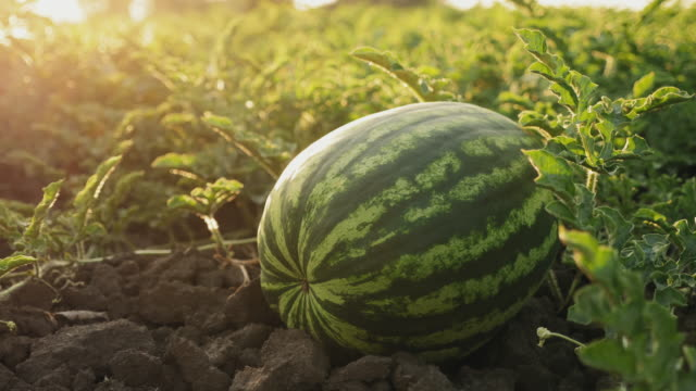 Organic watermelons on the ground close-up Organic watermelons on the ground close-up. Watermelon field ready for harvest cultivated land stock videos & royalty-free footage
