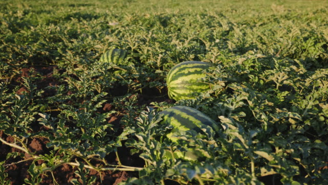 Organic watermelons on the ground PAN shot: Organic watermelons on the field cultivated land stock videos & royalty-free footage