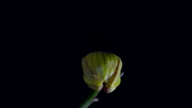 Orhid Blooming video