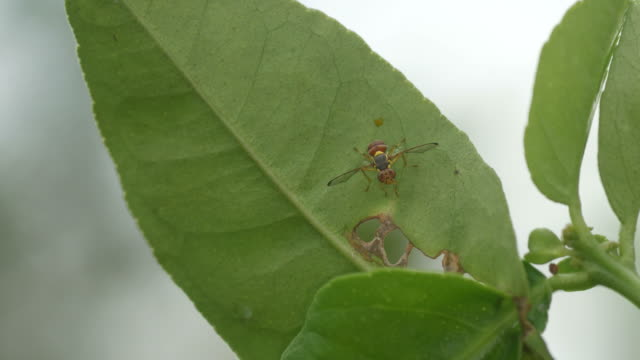 Oriental fruit fly resting under the tree leaf video