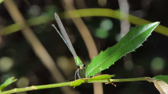 Oriental Green-Wing Dragonfly. video