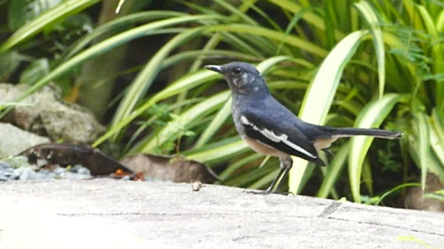 Oriental magpie robin bird video