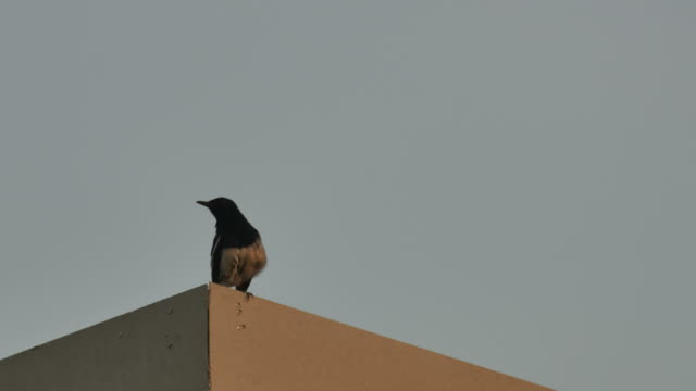 Oriental magpie-robin on the roof video