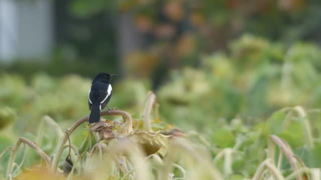 Oriental magpie-robin standing on sunflower shoot video