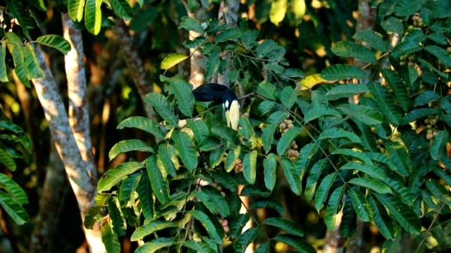 Oriental pied hornbill on the tree in the forest, slow motion video